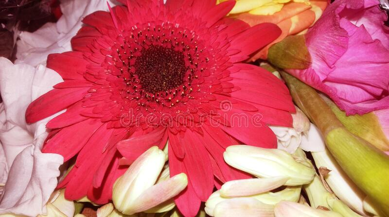 A closeup pic of a beautiful red flower, blooming red, rosy and pink flower, white flower. background pic red flower tuberose stock image