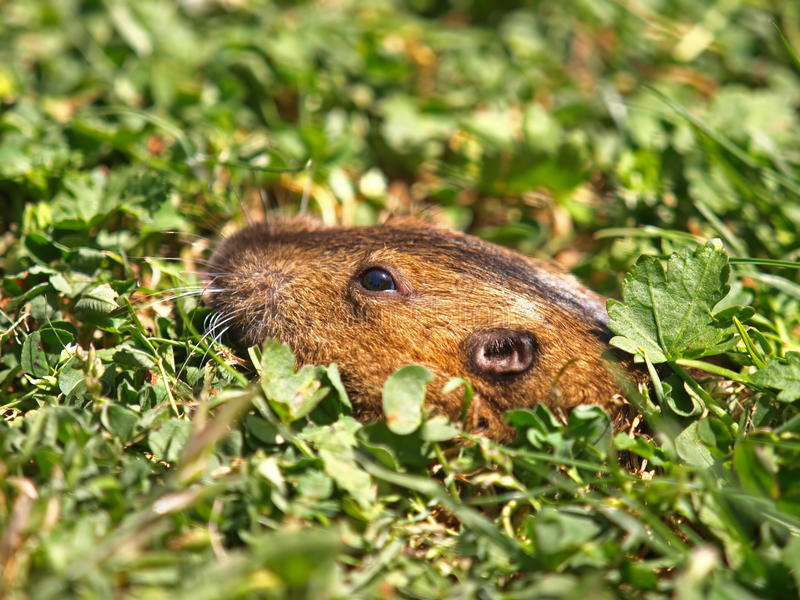 Download Closeup Picture Of Ground Hog Stock Photo - Image: 19396292