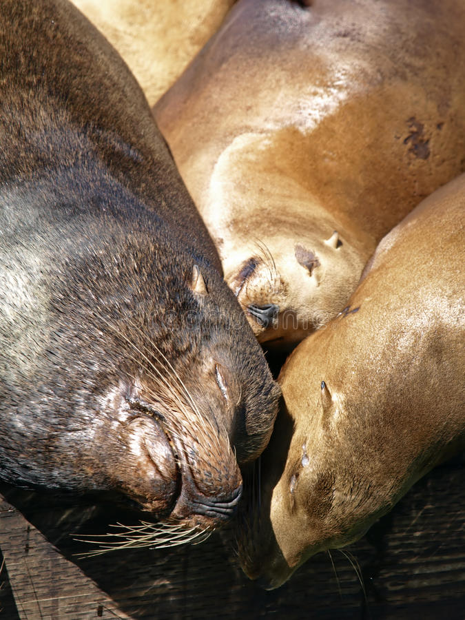 Free Closeup Picture Of Sealion S Head Royalty Free Stock Photography - 14633467