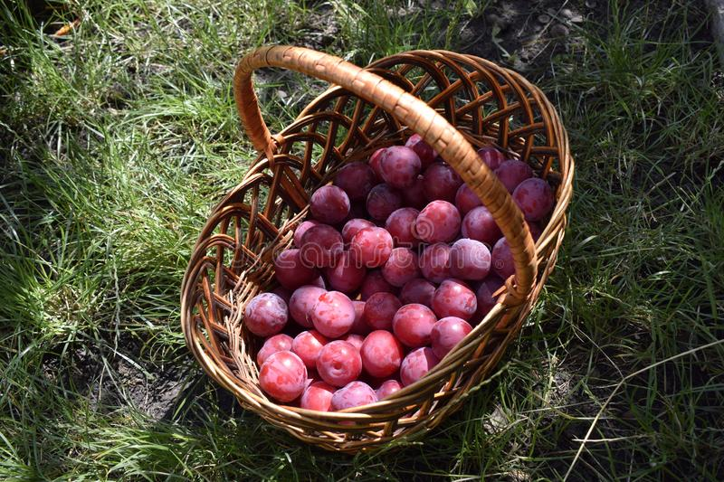 Closeup picture of wickerwork handbasket full of fresh juicy riped blue plums. From organic farming just harvested in garden standing in the green grass, autumn royalty free stock image