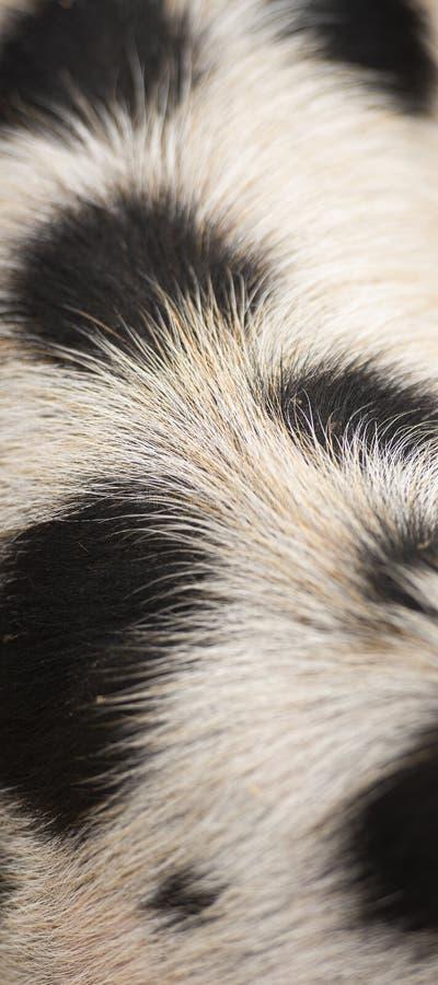 Closeup of piglets hair. Detailed closeup of a piglets natural hair royalty free stock image
