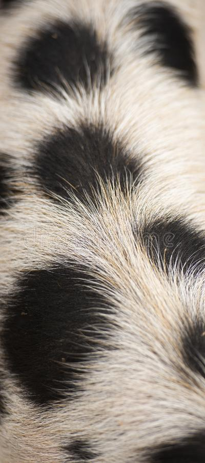 Closeup of piglets hair. Detailed closeup of a piglets natural hair stock images
