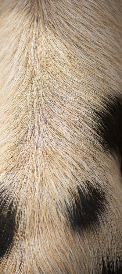 Closeup of piglets hair. Detailed closeup of a piglets natural hair royalty free stock photography