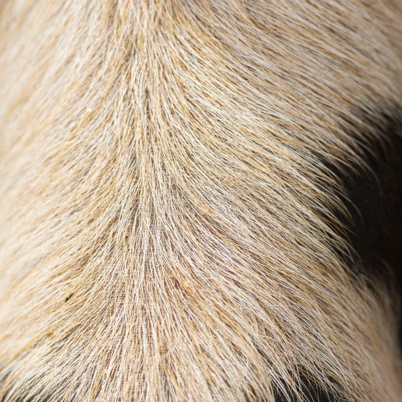 Closeup of piglets hair. Detailed closeup of a piglets natural hair stock photos