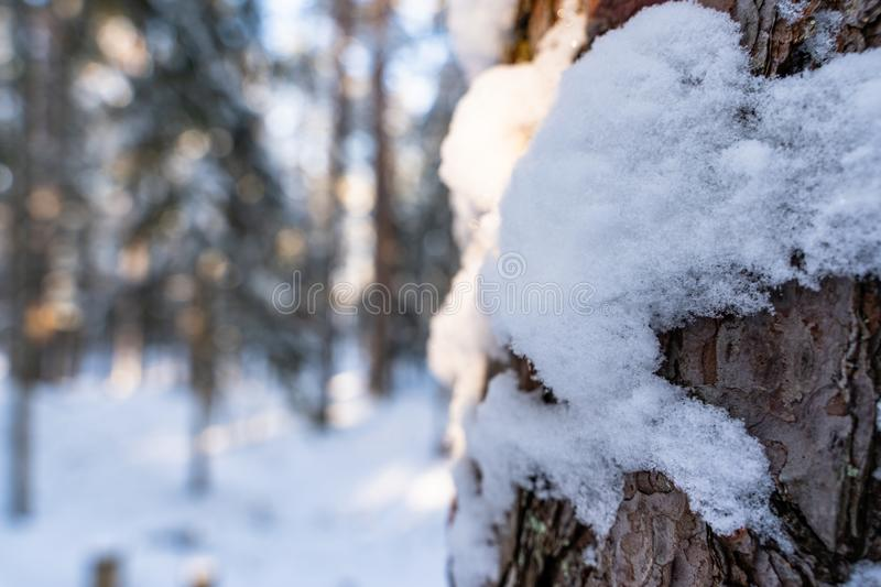 Closeup of Pine Bark in Forest in Sunny Winter, Abstract Background stock photo