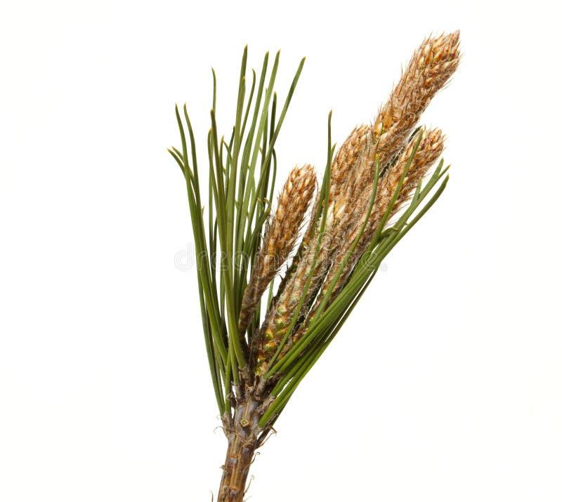 Download Pine cone stock photo. Image of botanical, budding, fruits - 29990644