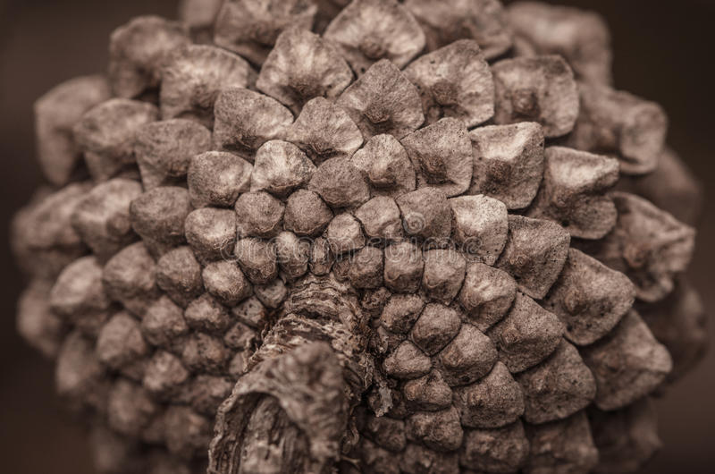 Closeup Pine Cone royalty free stock images