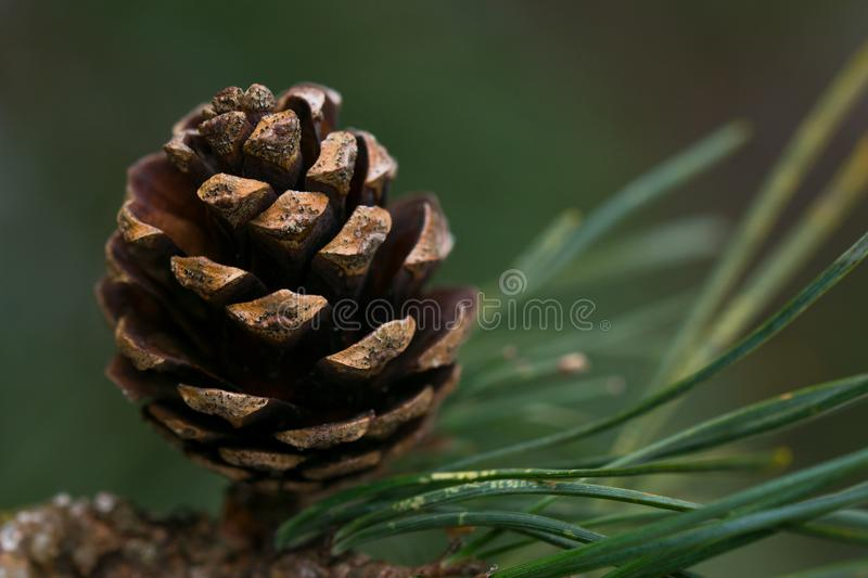 Closeup of a pine cone on a branch royalty free stock photo