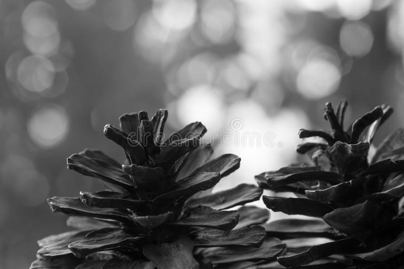 Closeup of pine cone on a wooden table natural background, Black royalty free stock photo