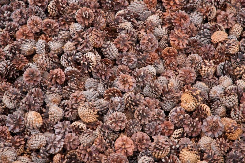 Closeup of pine cones royalty free stock photo