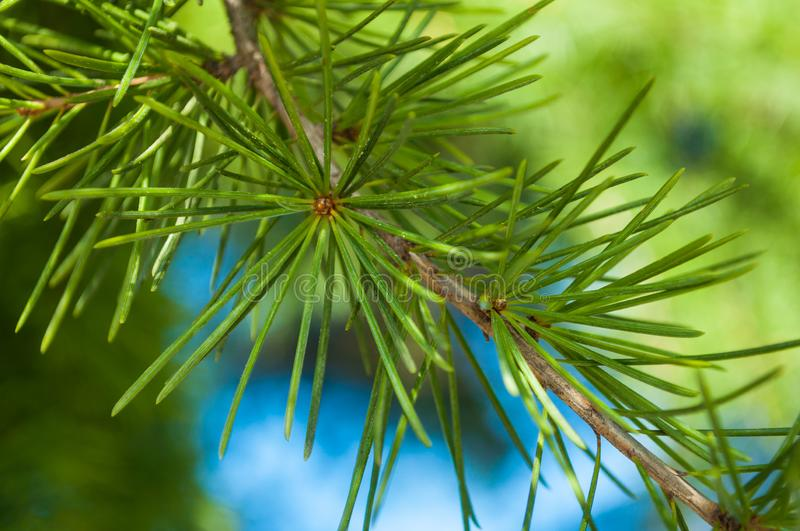 Pine needles star burst on branch and blue sky royalty free stock images
