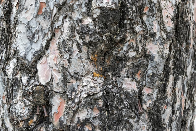Closeup of the pine tree bark. Abstraction. Closeup of the pine tree bark. Textured Abstraction royalty free stock photo