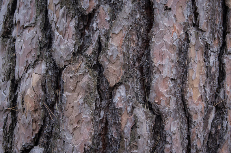 Closeup of a pine tree bark in the woods stock photography