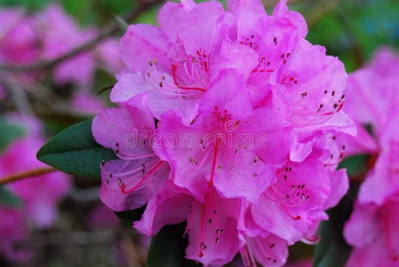 Closeup of pink azalea flowers royalty free stock image