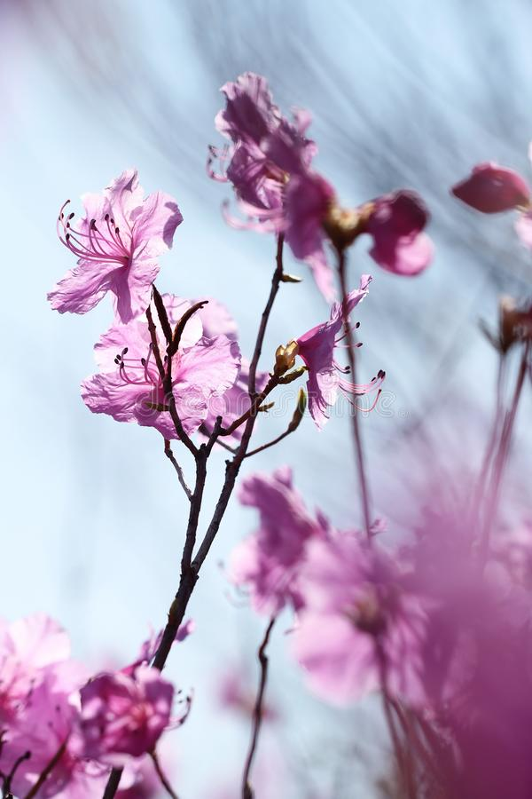 Closeup of Pink azalea flowers in spring stock photography