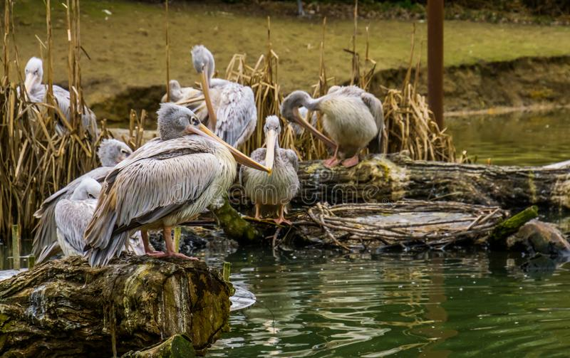 Closeup of a pink backed pelican standing a tree trunk with his family in the background, pelicans at the water side, Birds from. A closeup of a pink backed stock images