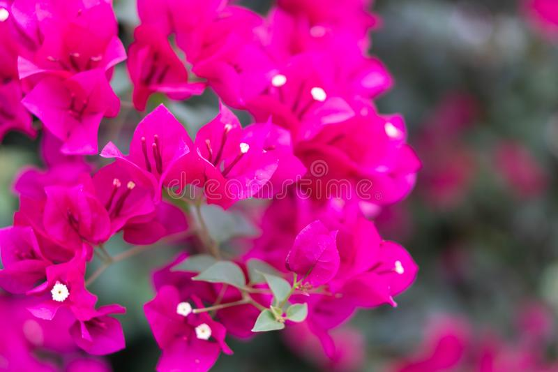 Closeup pink blooming bougainvillea flower, selective focus royalty free stock image