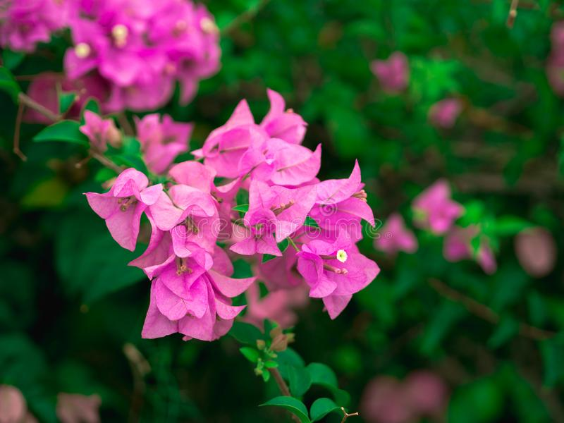 Closeup Pink Bougainvillea flowers with green leaves for background. stock photos