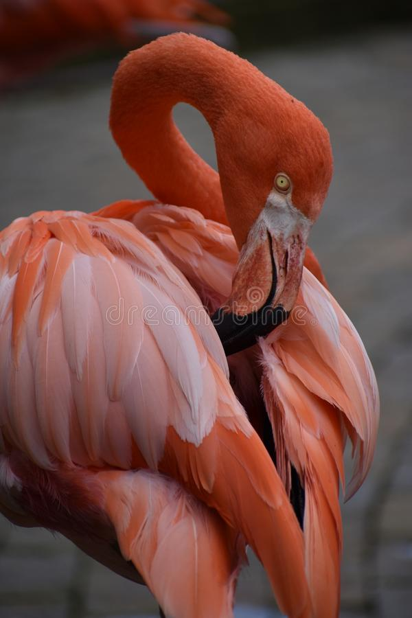 Closeup of a pink carribean Greater Flamingo in South Africa. Closeup of a beautiful pink carribean Greater Flamingo in South Africa stock image