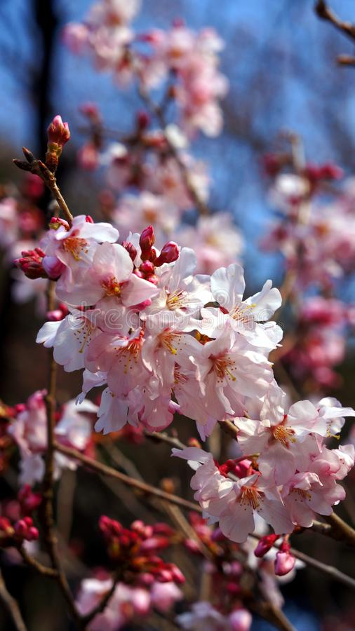 Closeup pink cherry blossom in the sunlight stock photo