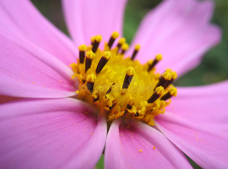 Closeup of pink cosmos stamens royalty free stock images