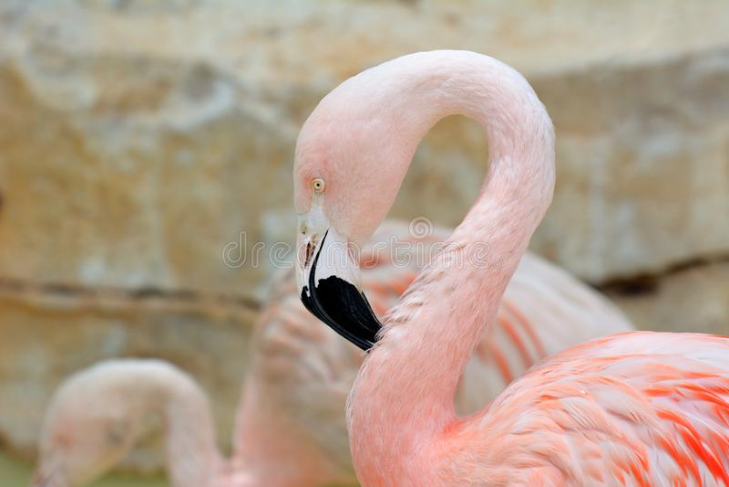 Closeup of a pink flamingo head. Phoenicopterus roseus royalty free stock photo