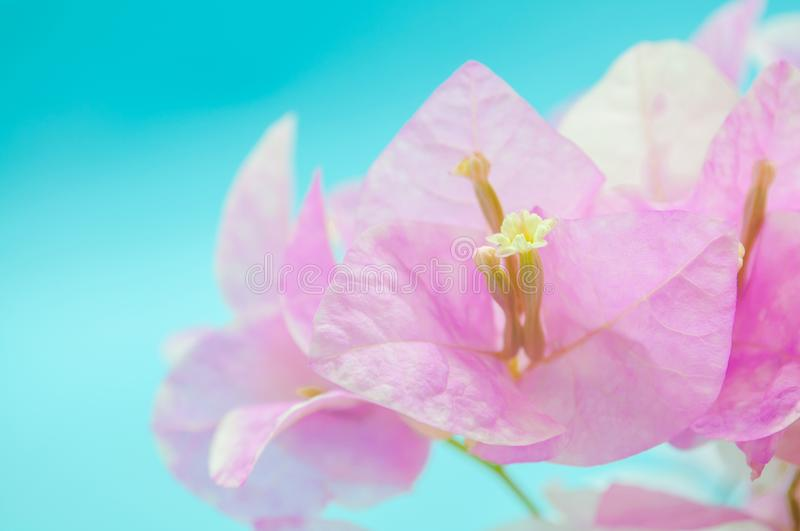 Closeup Pink flowers on blue background. royalty free stock photography