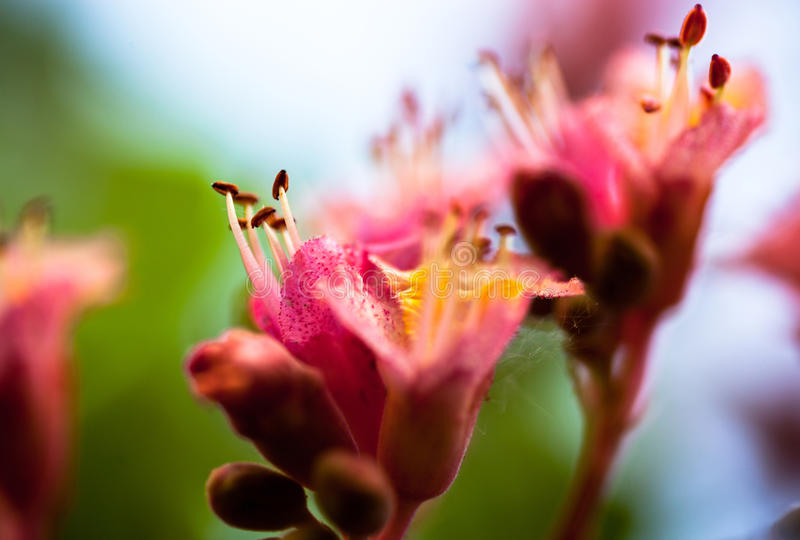 Closeup of pink flowers of the horse chestnut tree stock photo download closeup of pink flowers of the horse chestnut tree stock photo image of mightylinksfo