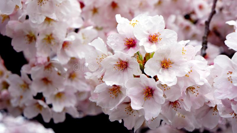 Closeup pink full bloom cherry blossom stock photo