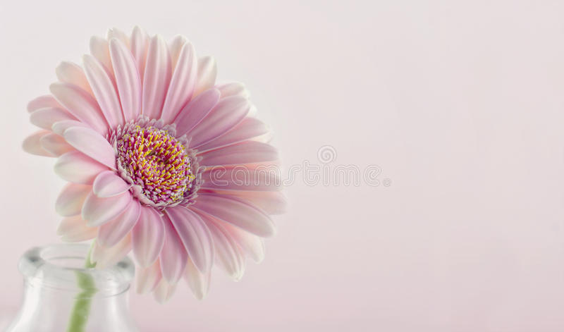 Closeup of pink gerbera. On pastel background royalty free stock photography