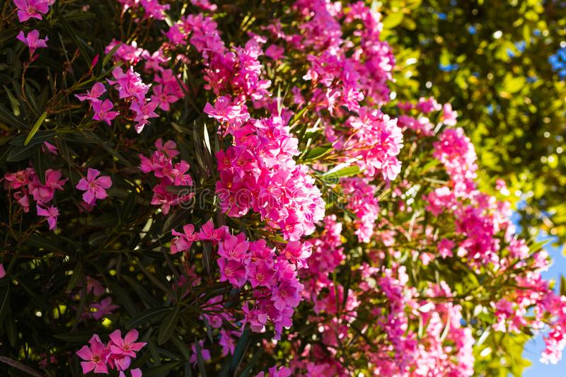 Closeup of a pink oleander and Nerium oleander blossoming on a tree - beautiful floral background, texture stock image