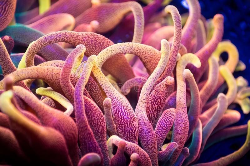 Bubble Tip Anenome. Closeup of pink and orange bubble tip anemone stock photos