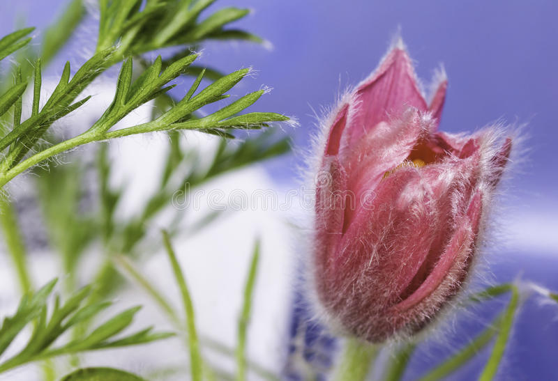 Closeup of a Pink Pasque Flower royalty free stock photo