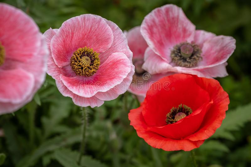 Closeup of pink poppies with one red. Closeup of pink poppies with yellow center and one red poppy royalty free stock photography