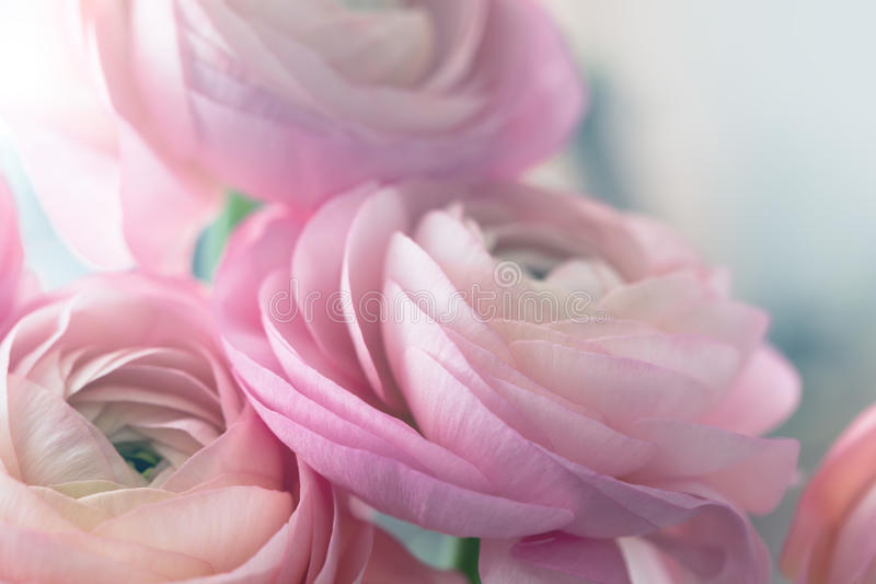 Closeup of pink ranunculus. Soft floral background royalty free stock images