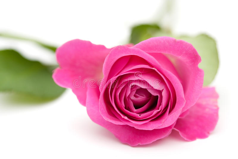 A closeup of a pink rose. Isolated over white royalty free stock photo