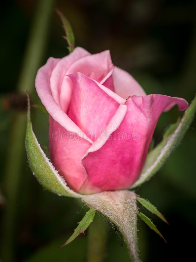 Closeup of a pink rose blossom in spring royalty free stock images