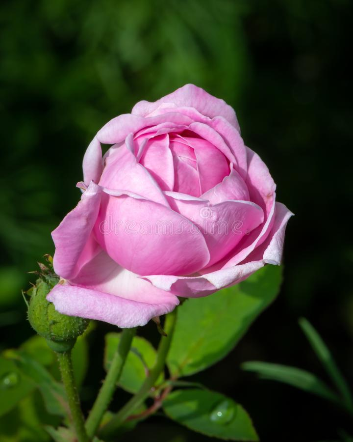 Closeup of a pink rose blossom in spring stock photo