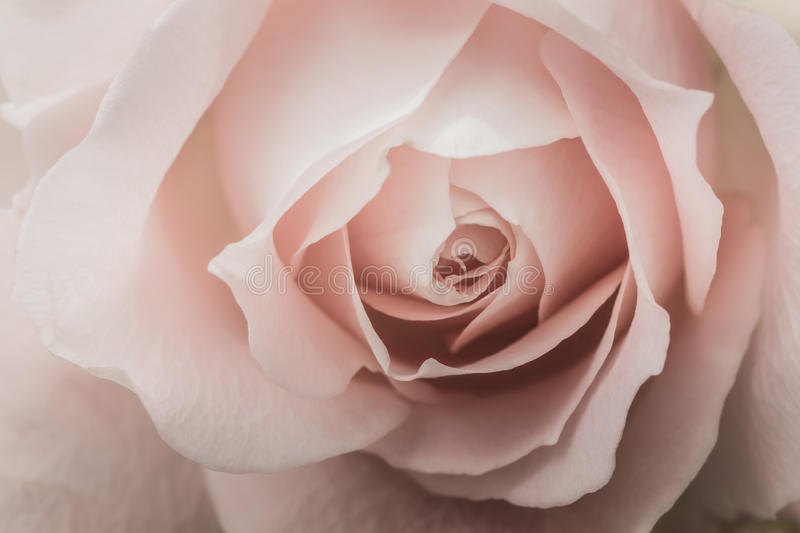 Closeup of a pink rose. With pale color and selective focus royalty free stock photo