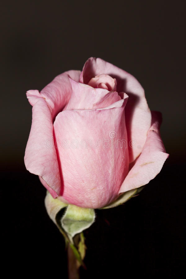 Closeup of a pink rose upright with dark