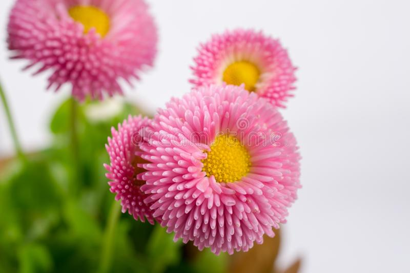 Closeup of pink spring  delicate small  daisy flower. Closeup of pink spring  delicate small  bellis daisy flower stock photos