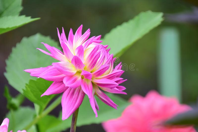 A closeup of pink and yellow Dahlia flowers in the garden. royalty free stock photography
