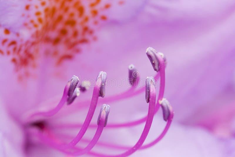 Closeup of pistils. Closeup of a purple flowers pistils stock photo