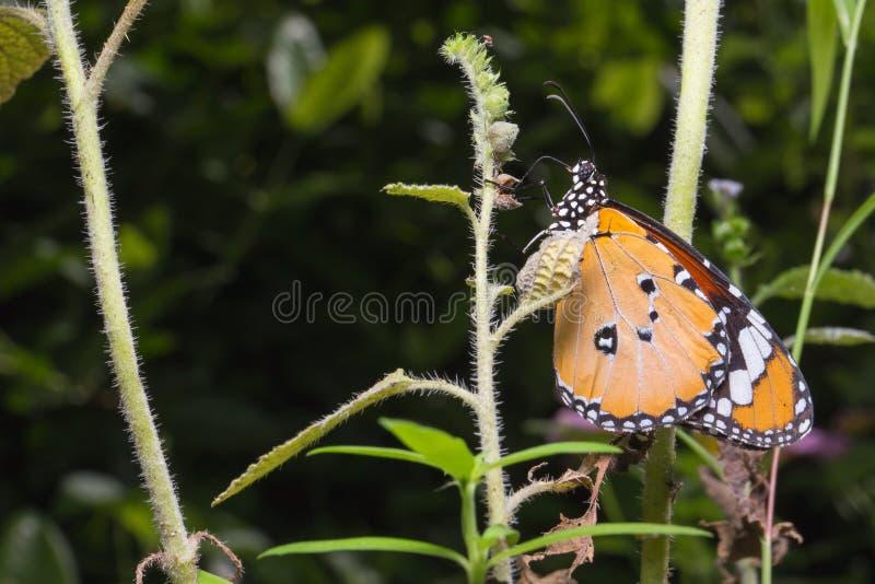 Closeup The Plain Tiger on tree. Closeup The Plain Tiger butterfly on tree stock photo