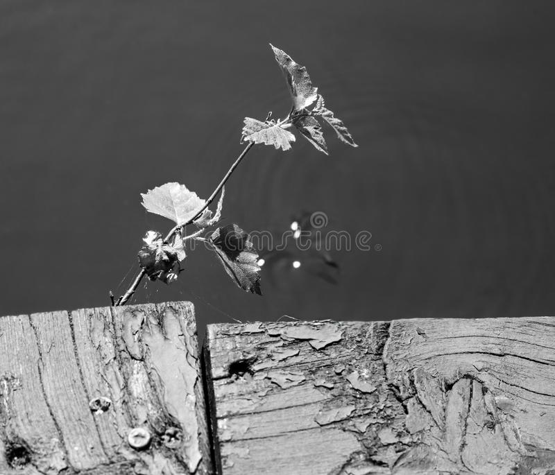 Closeup Plant sprout growing from a wooden old cracked board on a pier against the background of water and sun glare royalty free stock photo