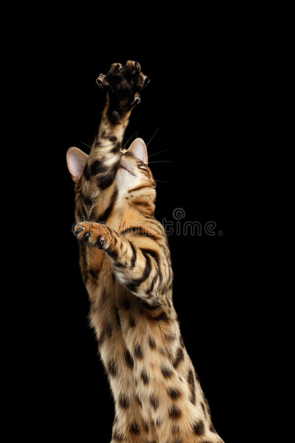 Closeup Playful Bengal Cat Raising up Paws, Black Isolated Background. Closeup Playful Bengal Male Cat Raising up Paws on Black Isolated Background stock photo