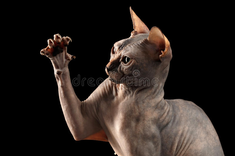 Closeup Playful Sphynx Cat Hunting Raising paw Isolated on Black. Background royalty free stock photos
