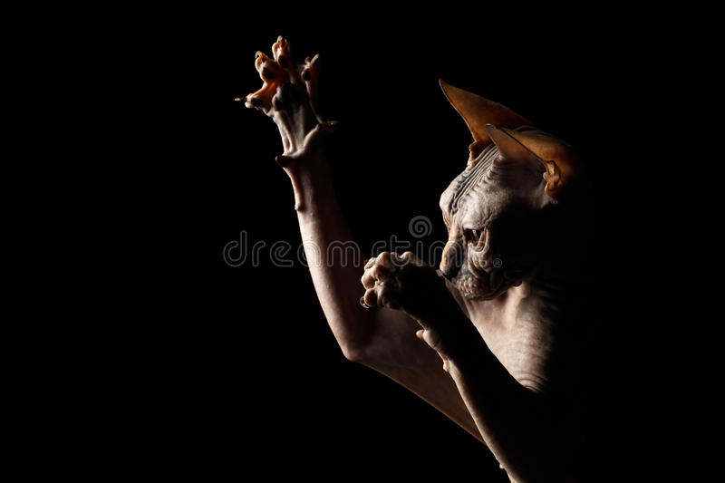 Closeup Playful Sphynx Cat Hunting Raising paws Isolated on Black. Background stock image