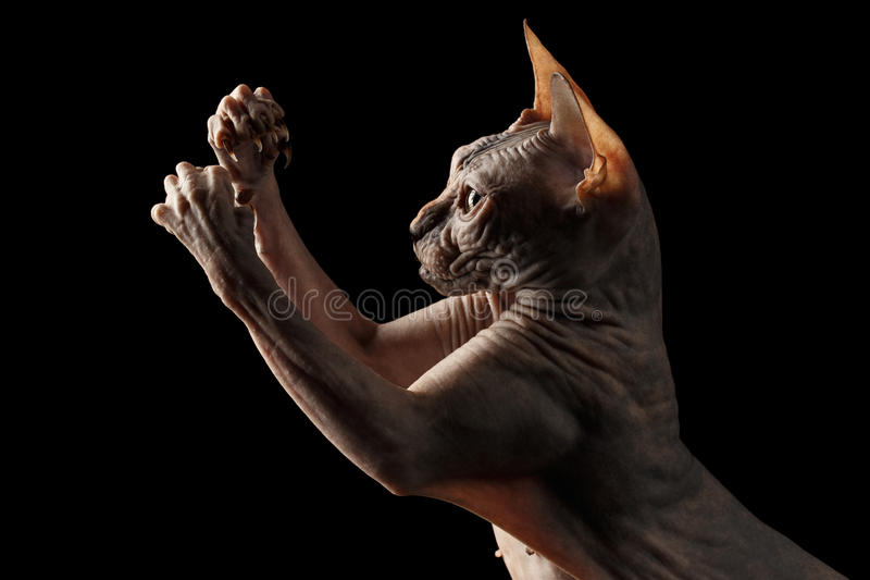 Closeup Playful Sphynx Cat Hunting Raising paws Isolated on Black. Background royalty free stock image