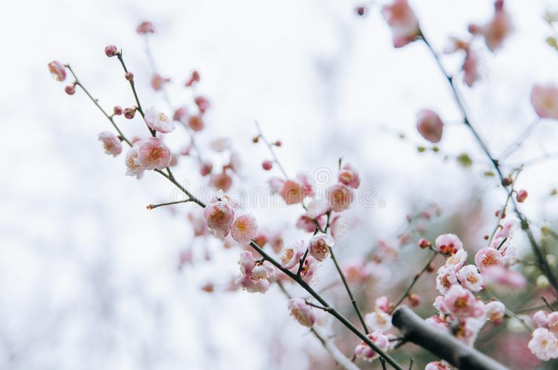 Pink plum blossom flowers in spring. Closeup of plum blossom. Plum blossoms is the only remaining last winter flowers, is the earliest blooming flowers in spring royalty free stock images